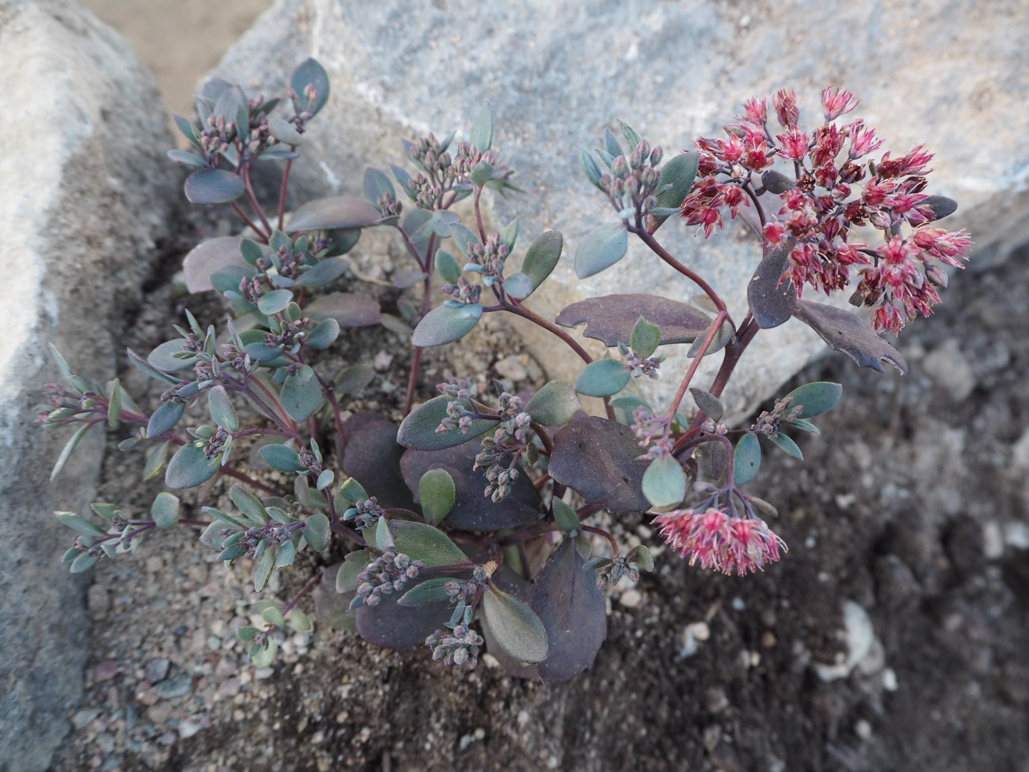 Kaunis maksaruoho kukkii, Japanilainen kivipuutarha