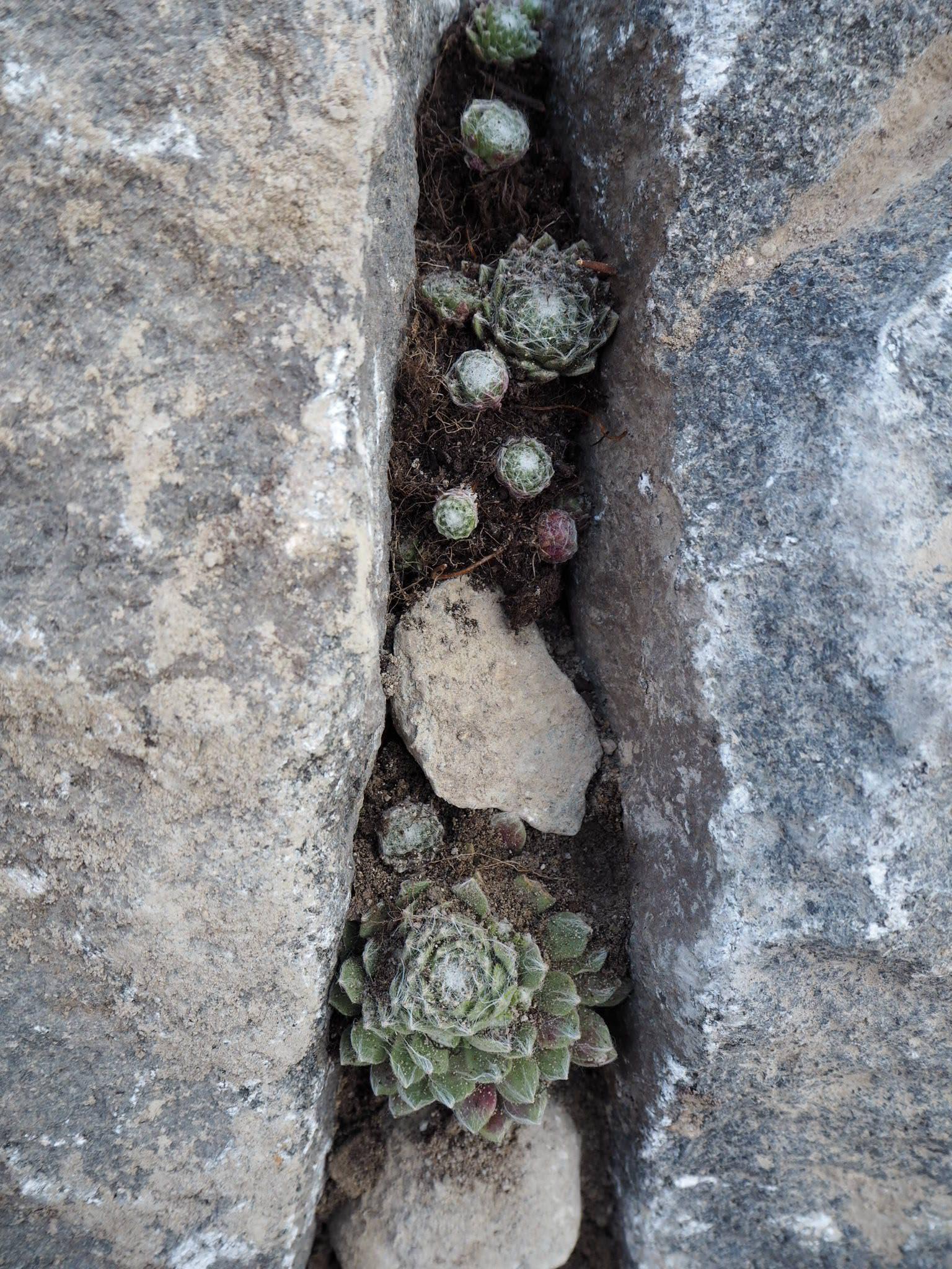 Mehikukkia kiven kolossa, Japanilainen kivipuutarha