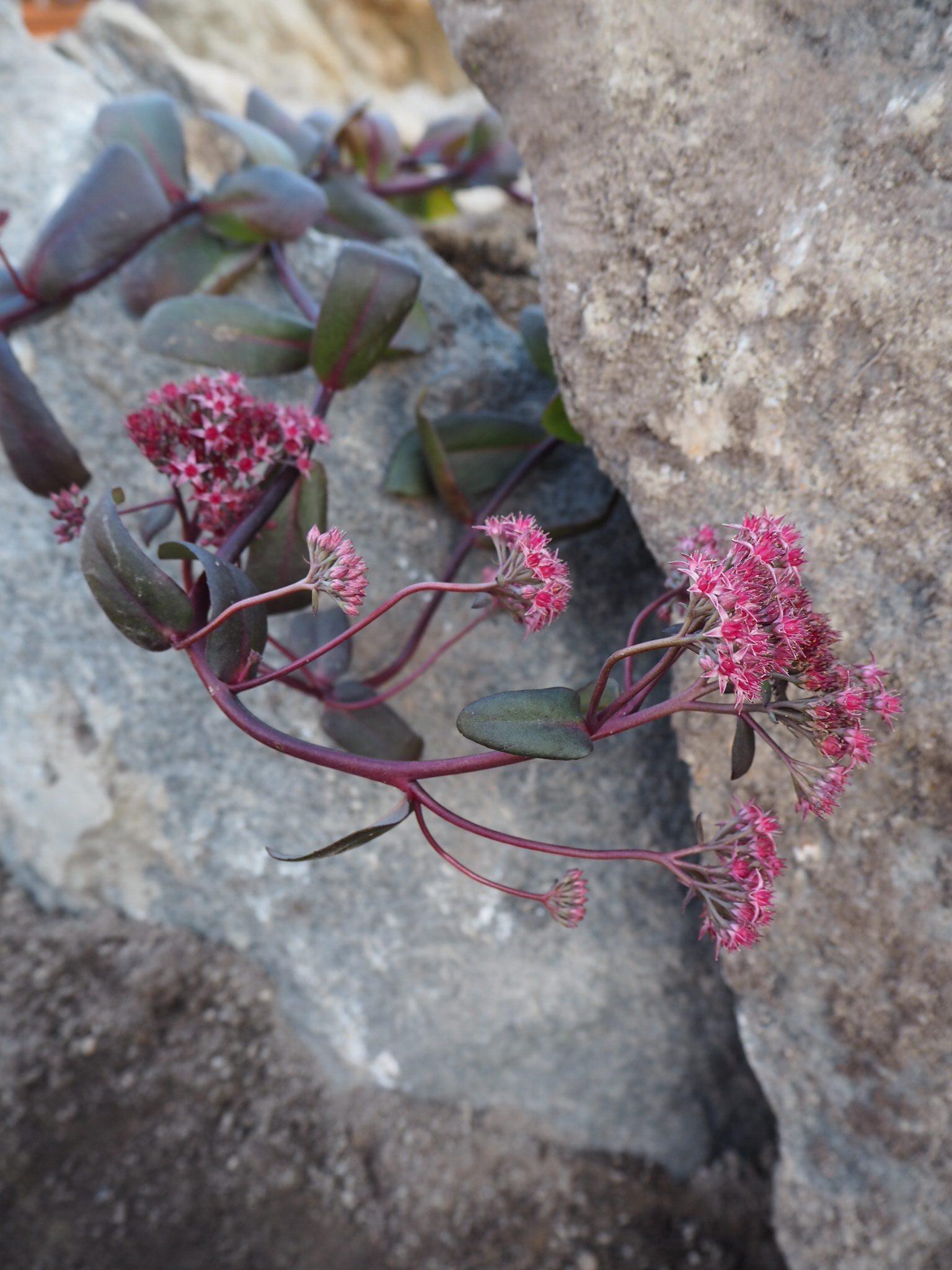 Maksaruohot kivien välissä, Japanilainen kivipuutarha