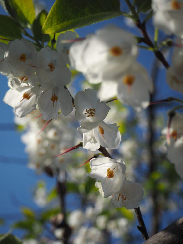 Holocaust Memorialin lähellä kasvaa tämä kaunis kukkainen puu