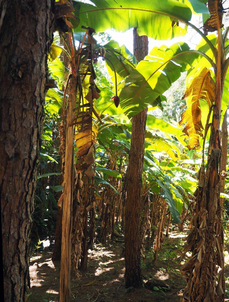 Banaanipuun kukka