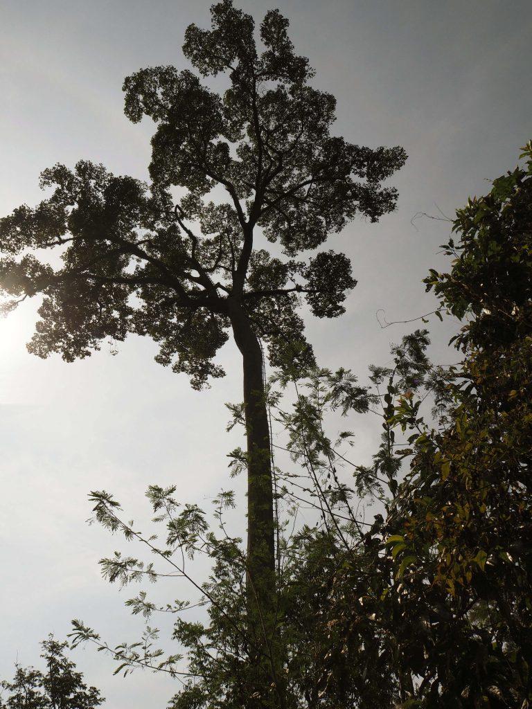 Hunajapuu